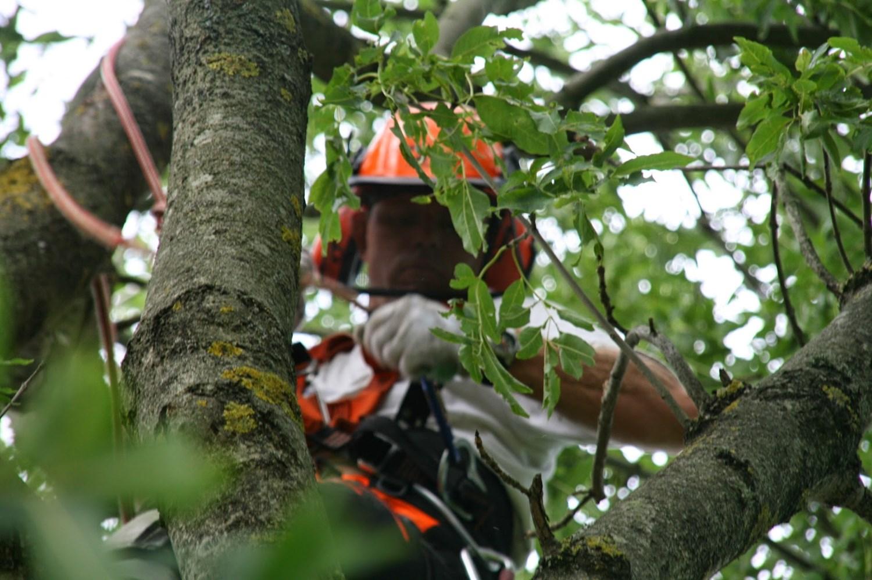 Kæmpestor Træfældning i Aalborg   Fældning af træer i Skagen og Randers WW08